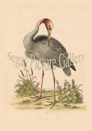 Crane, Greater Indian